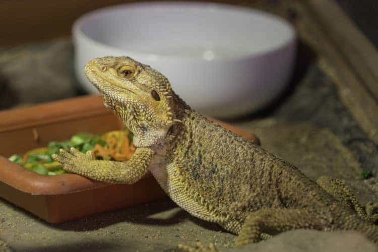Bearded Dragon Cage Setup Guide Reptile Care All Pet Care