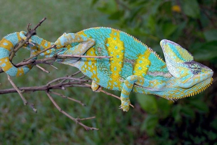 Veiled Chameleon Cage Ideas