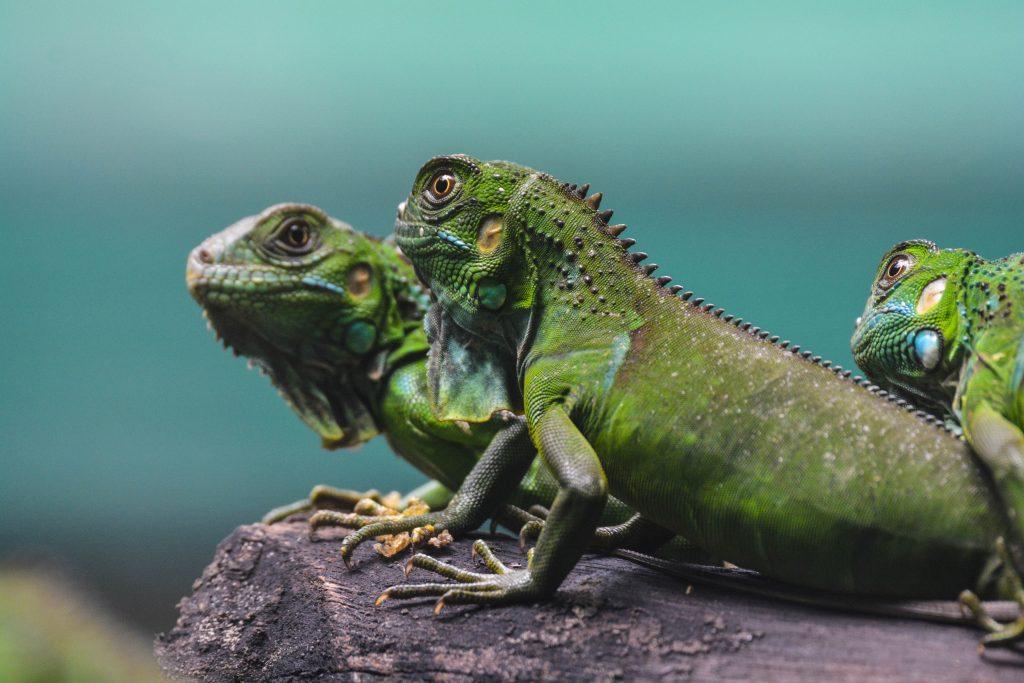 What do iguanas eat